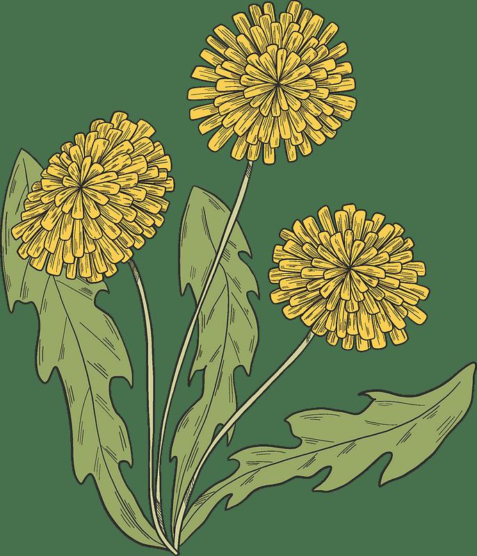 Dandelion clipart transparent background 1