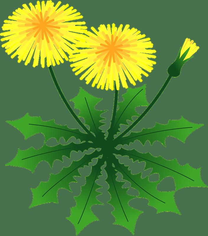 Dandelion clipart transparent background 11