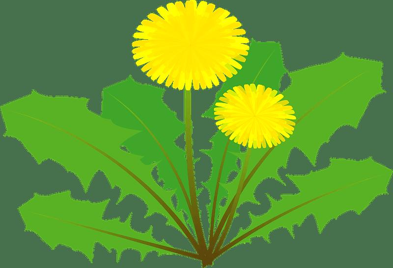 Dandelion clipart transparent background 7