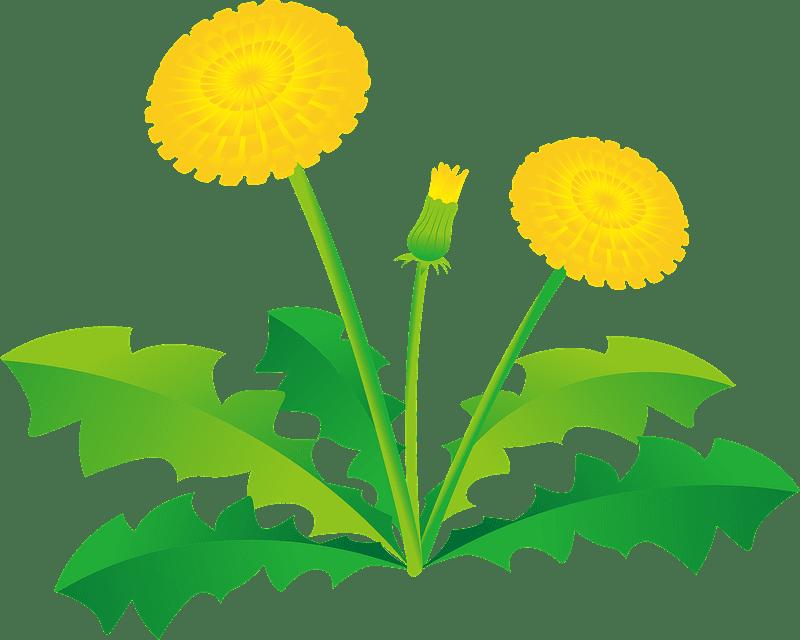 Dandelion clipart transparent background 8