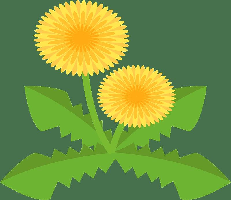 Dandelion clipart transparent background 9