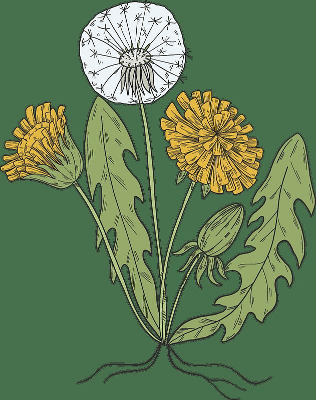 Dandelion clipart transparent background