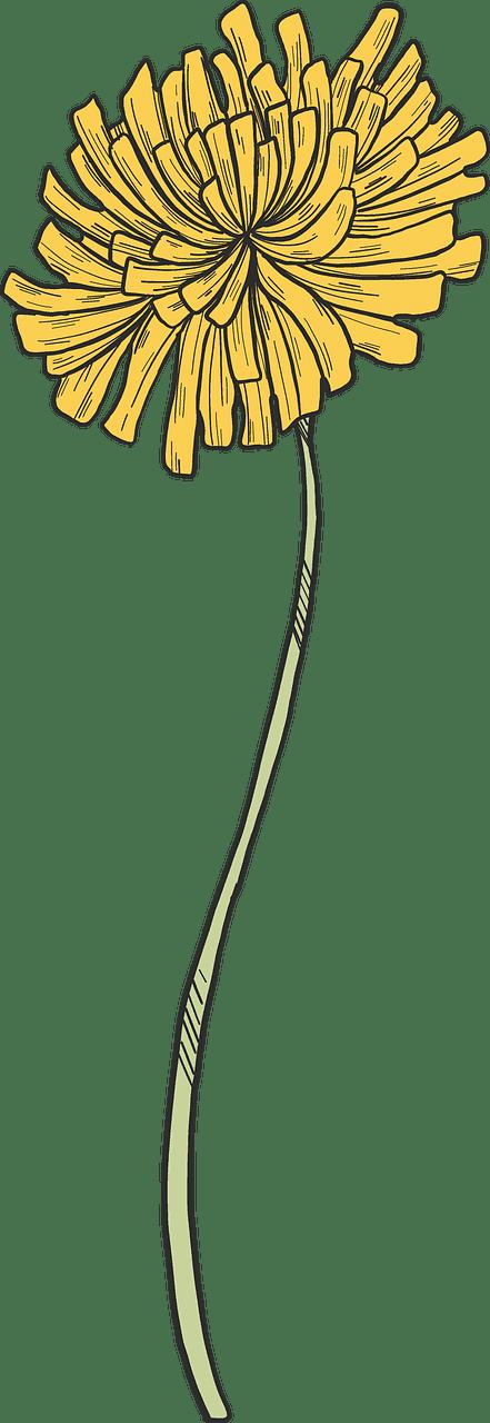 Dandelion clipart transparent image