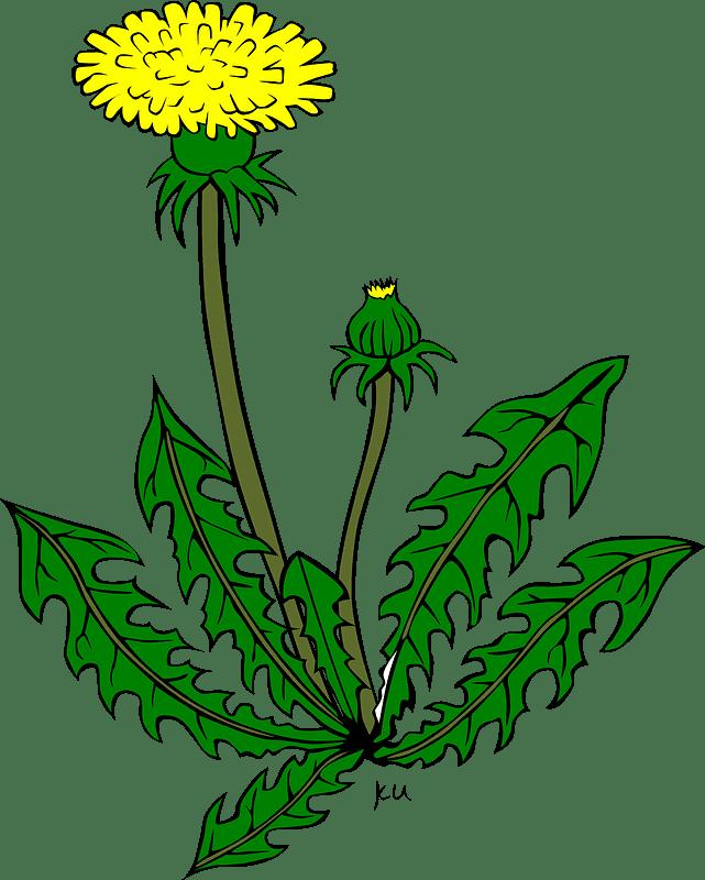 Dandelion clipart transparent