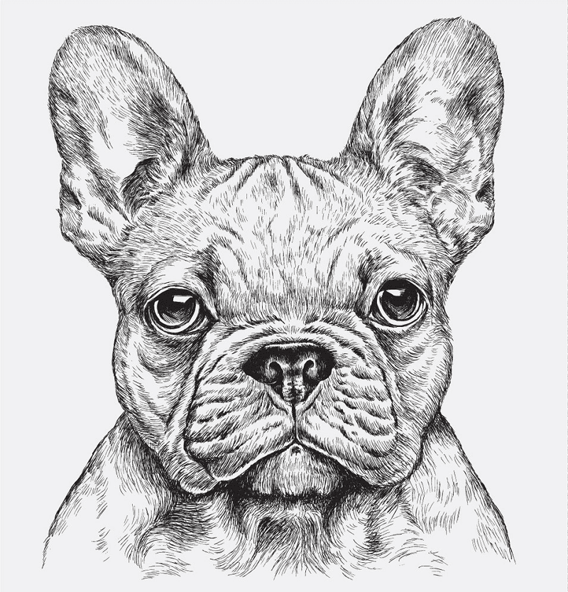 Download French Bulldog clipart for free