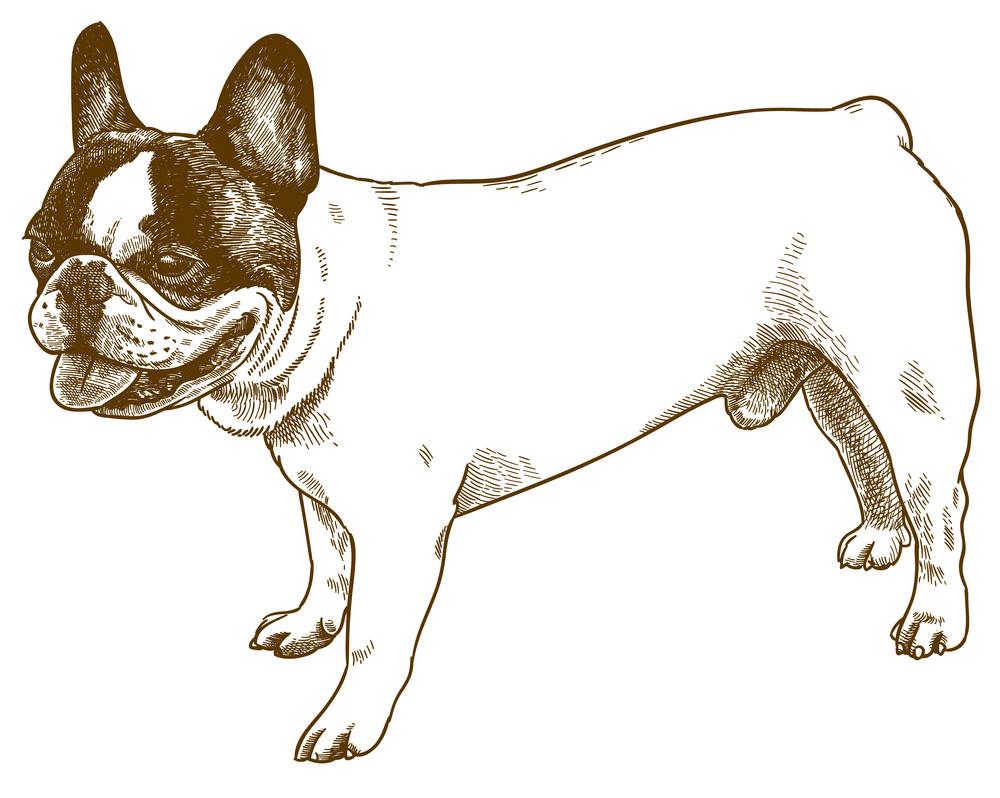 French Bulldog clipart png image