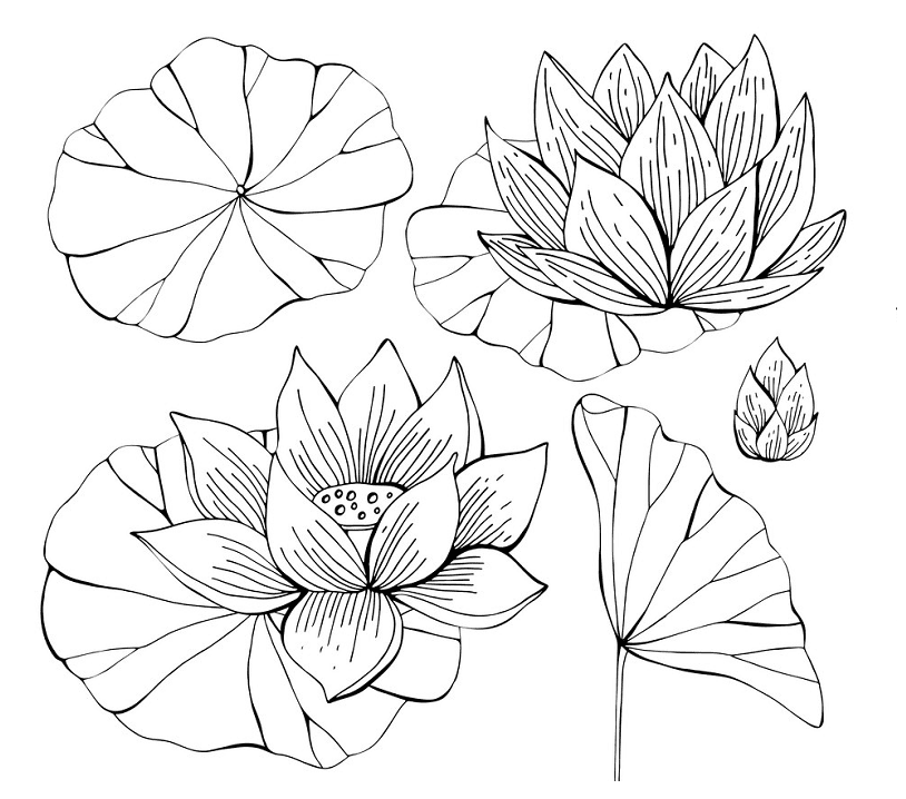 Lotus Clipart Black and White free image
