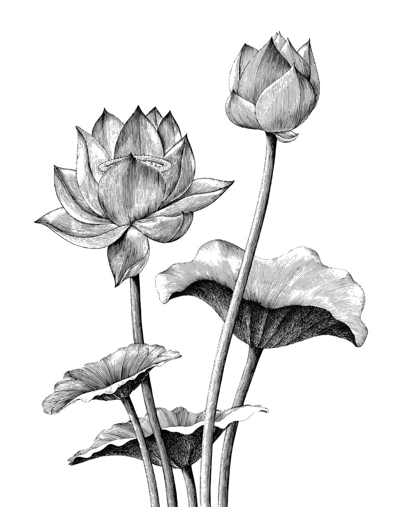 Lotus Clipart Black and White free