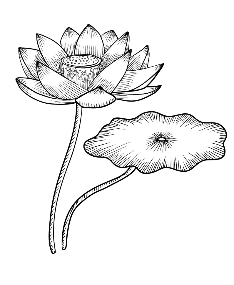 Lotus Clipart Black and White