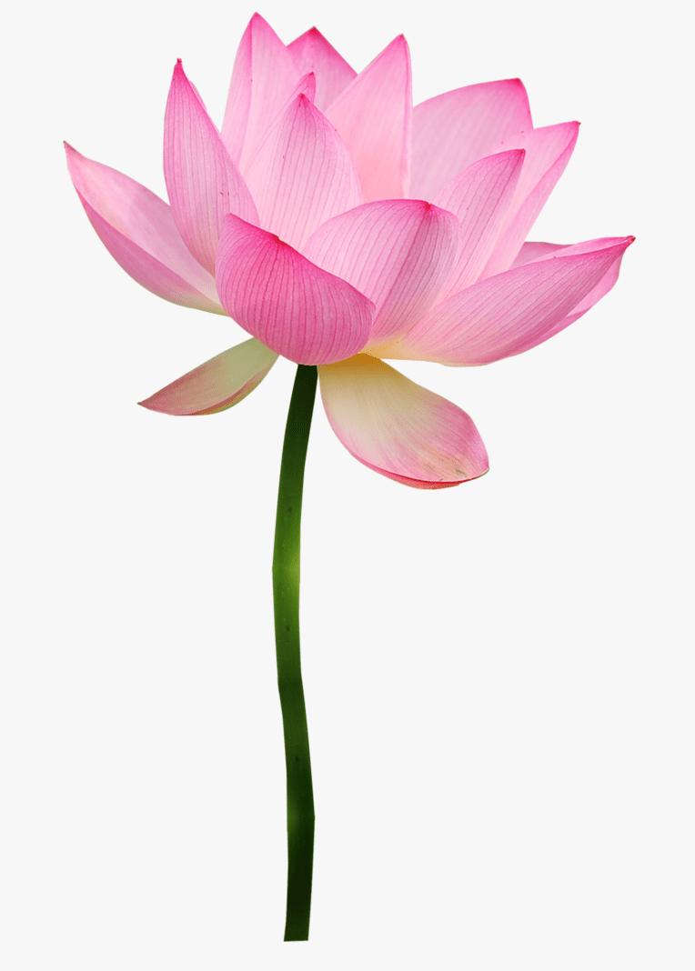 Lotus Flower clipart 3