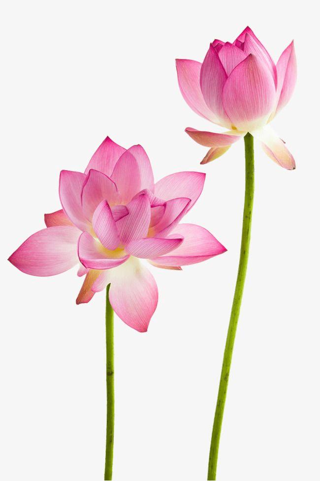 Lotus Flower clipart 4