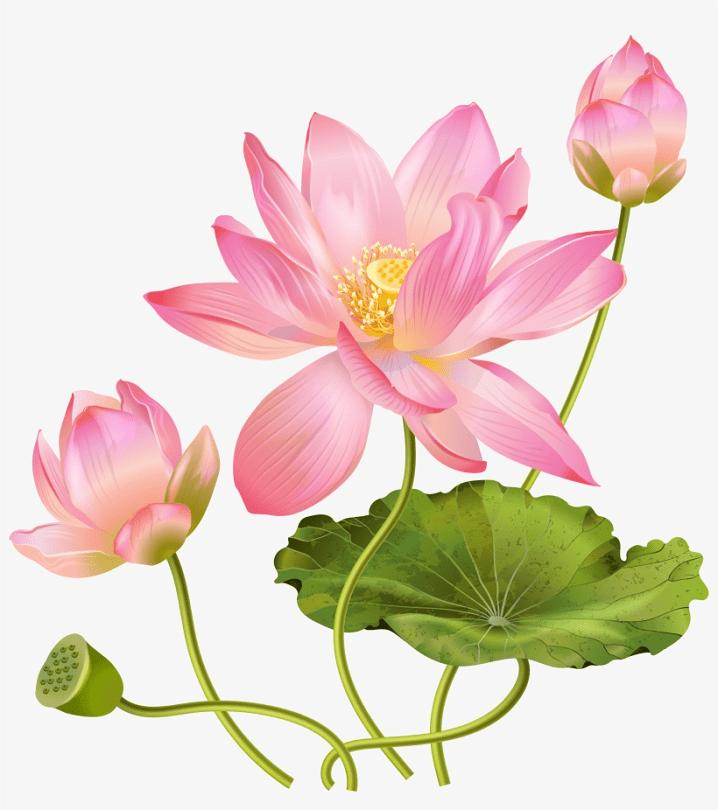 Lotus Flower clipart 7