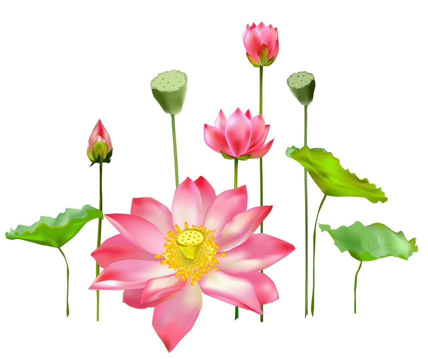 Lotus clipart image