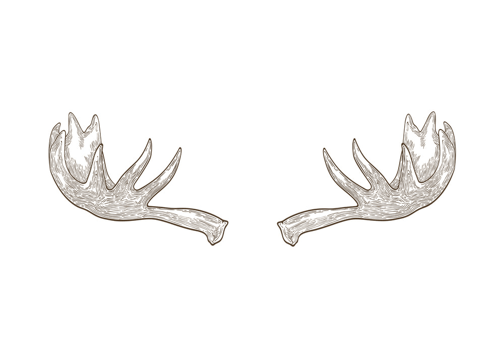 Moose Antlers clipart for free