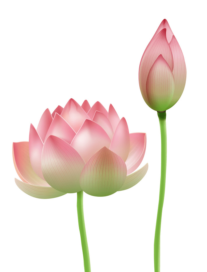 Pink Lotus clipart images