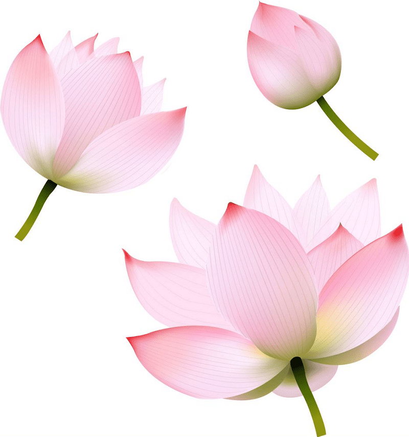 Pink Lotus clipart png images