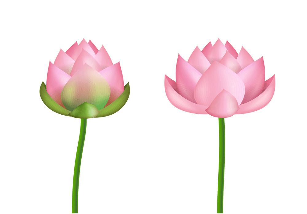 Pink Lotus clipart png