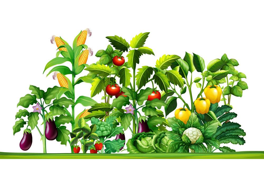 Vegetable Garden clipart 4