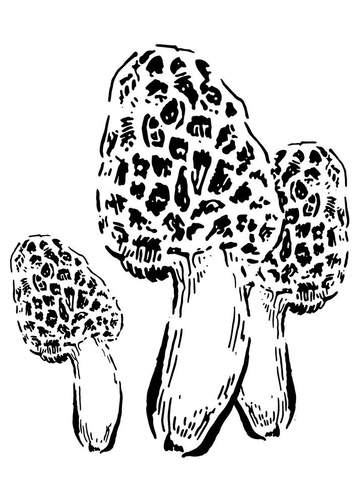 Morel Mushroom clipart download