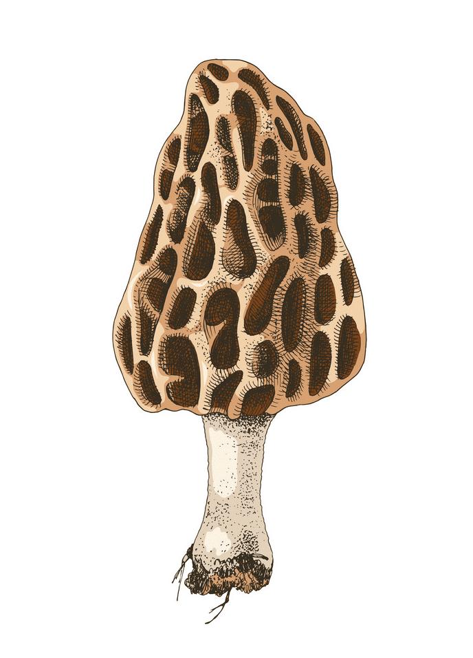 Morel Mushroom clipart