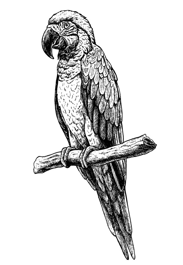 Parrot clipart Black and White for free
