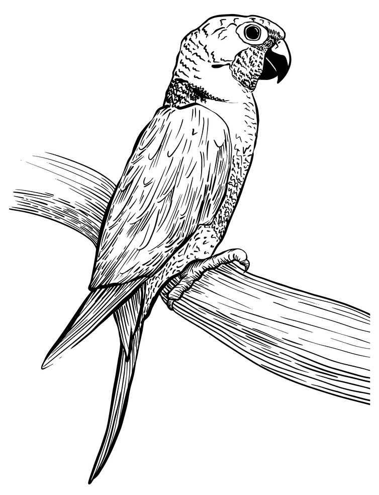 Parrot clipart Black and White image
