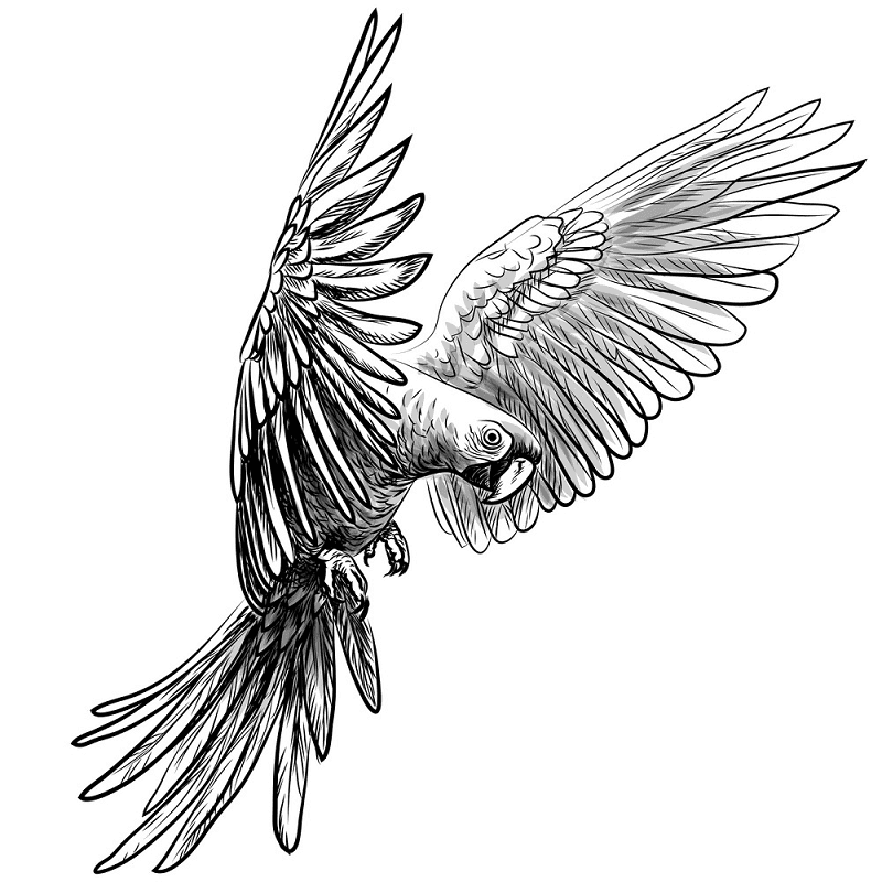 Parrot clipart Black and White png