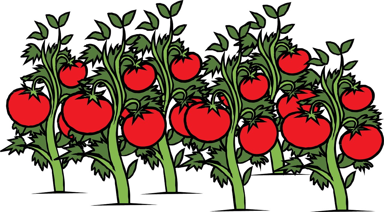 Tomatoes clipart transparent download